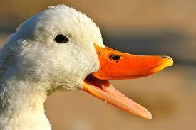 Ducky_TR